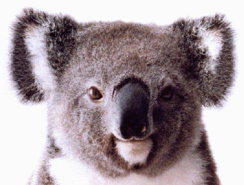 """Obrázek """"http://www.bookmice.net/fleur/koala/koala002.jpg"""" nelze zobrazit, protože obsahuje chyby."""